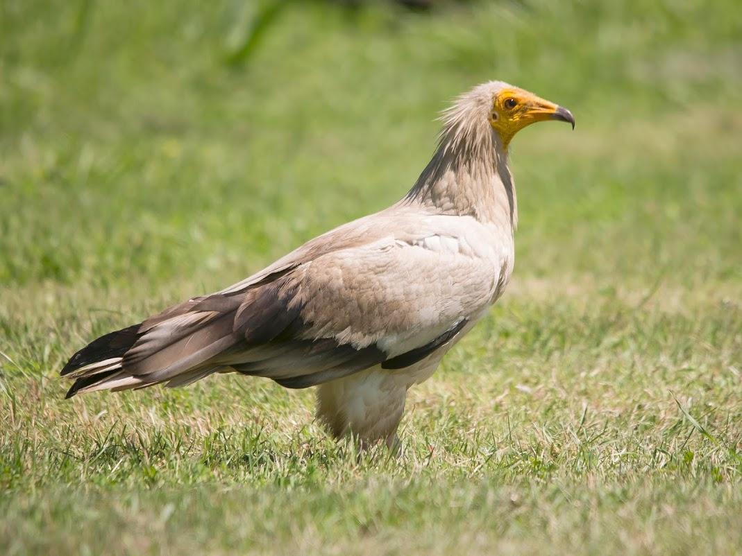 Vulturul hoitar