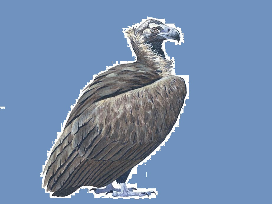Vulturul negru. Sursa foto: sor.ro