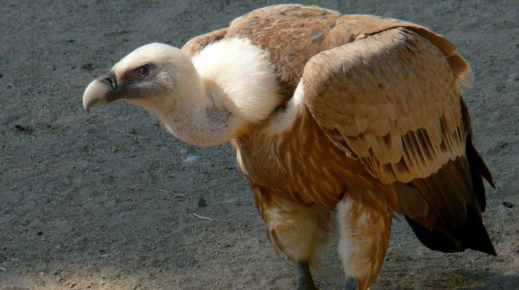 Vulturul pleșuv sur