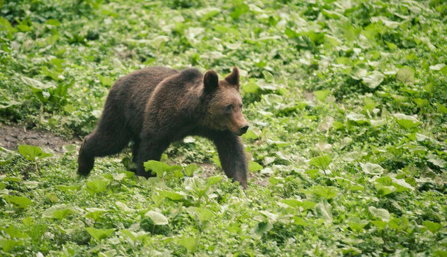 Urșii din pădurile României, braconați excesiv. Credit foto: Mircea Struțeanu